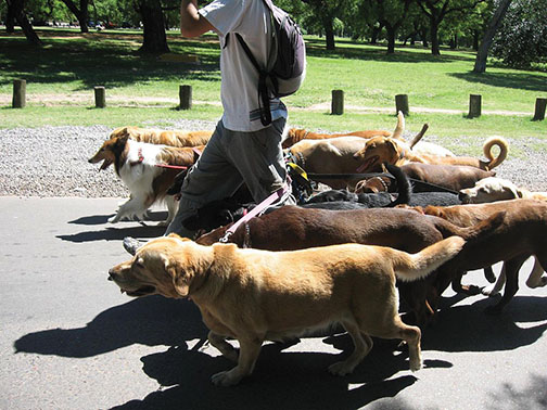 A professional dog walker takes his clients for a stroll. Dog walking is one of many summer jobs for students who are looking to make some extra cash. Photo credit to Revolution Cycle.