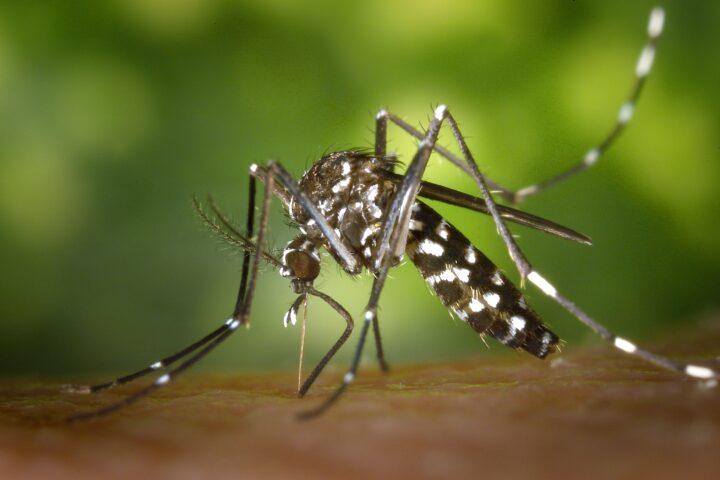 Aedes mosquitos: New invasive species